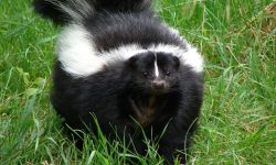 Skunk full hd wallpapers