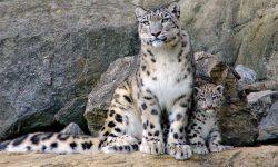 Snow Leopard HD pictures