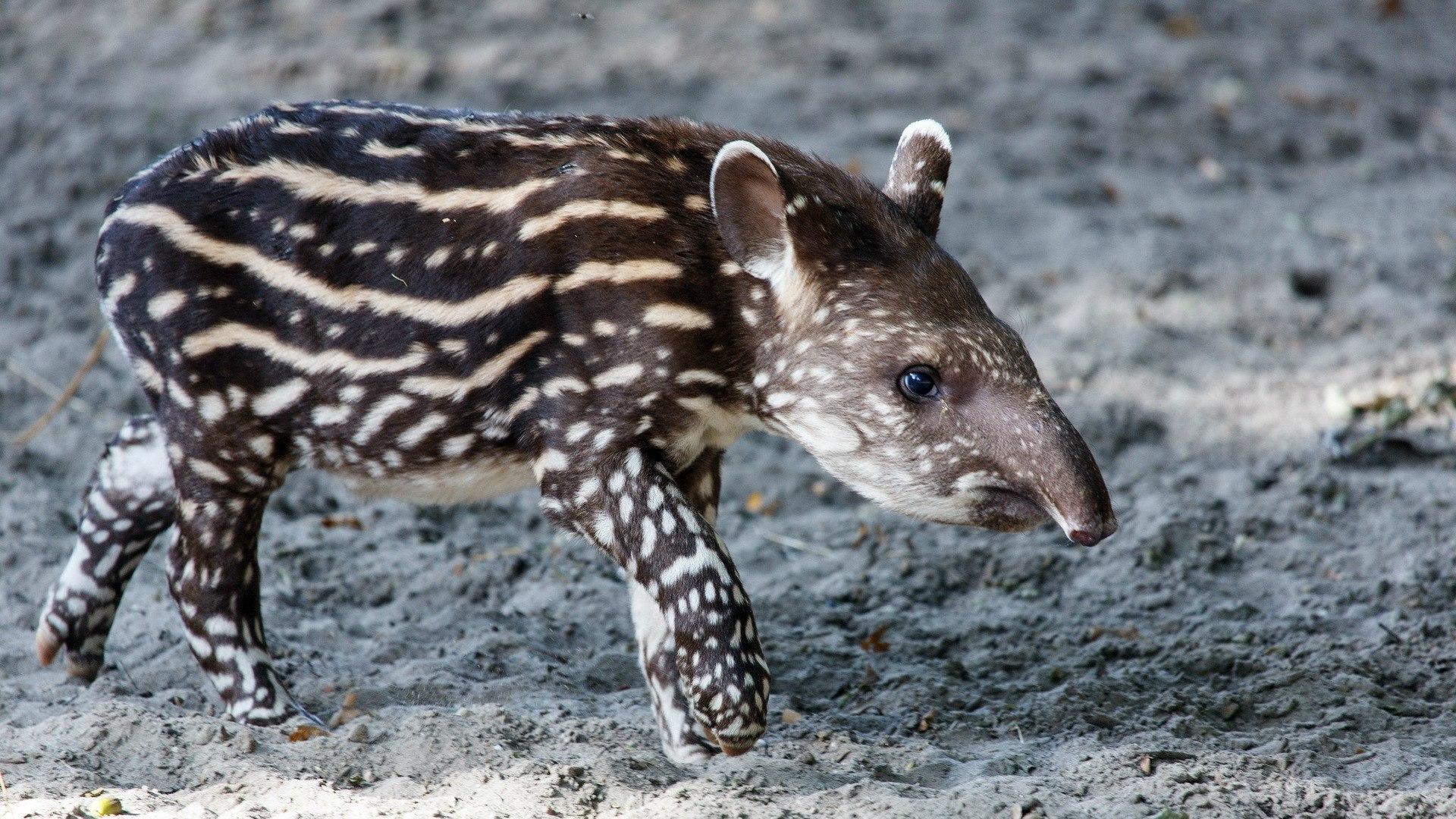 Tapir HD pictures