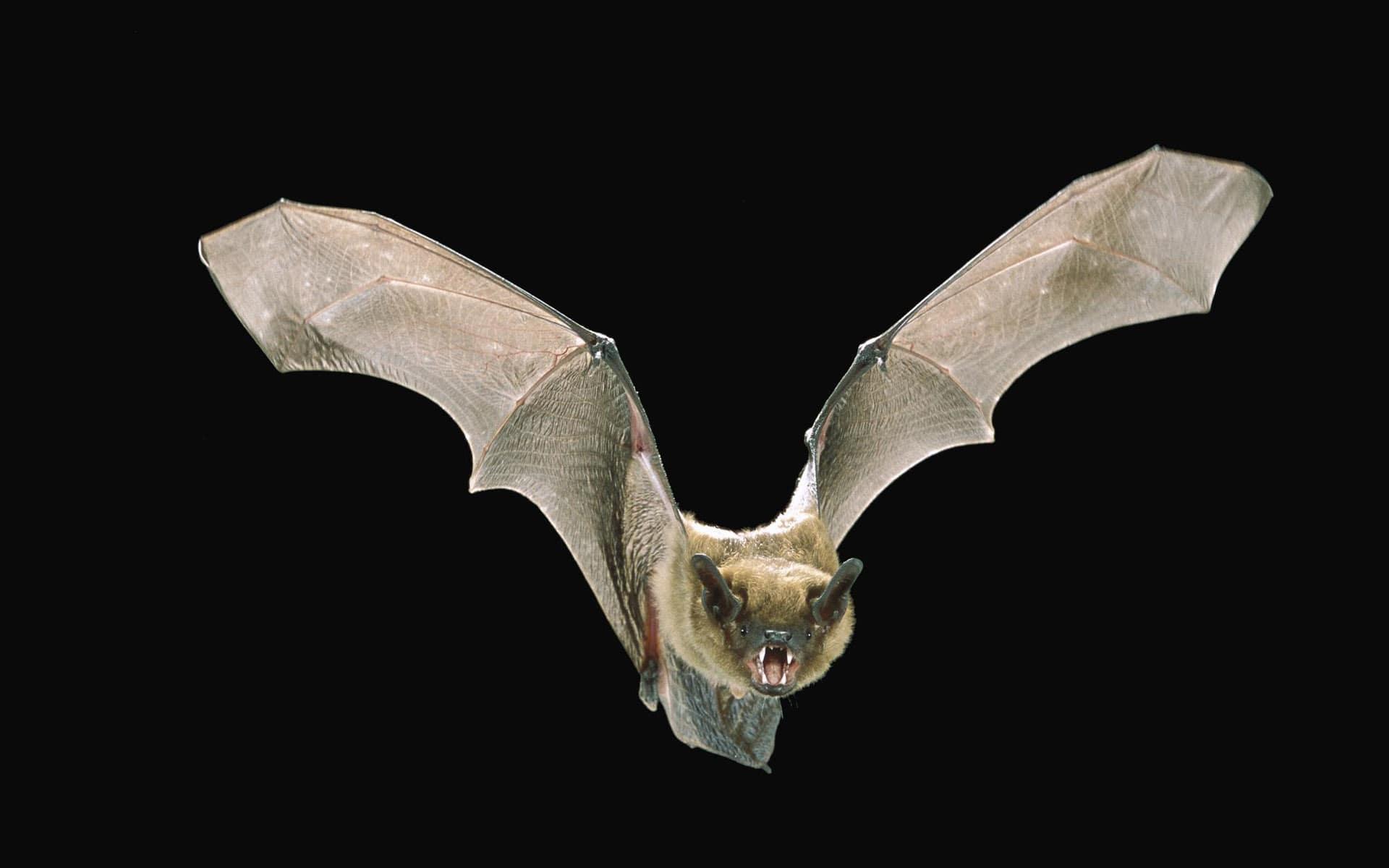 Bat full hd wallpapers
