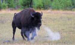 Buffalo HD pictures