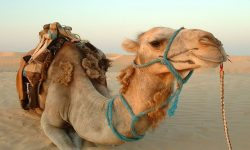 Camel full hd wallpapers