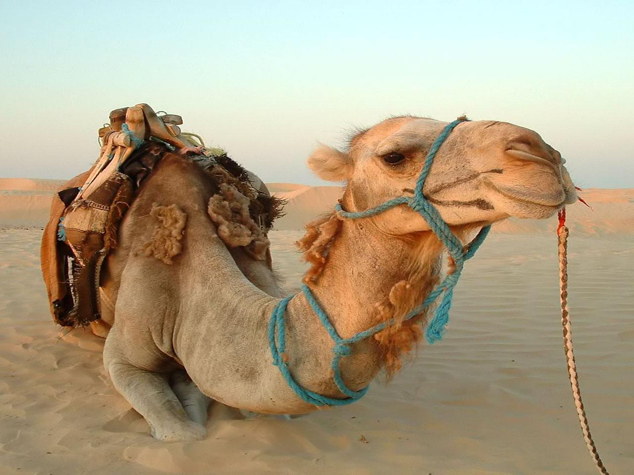 Camel full hd wallpapers