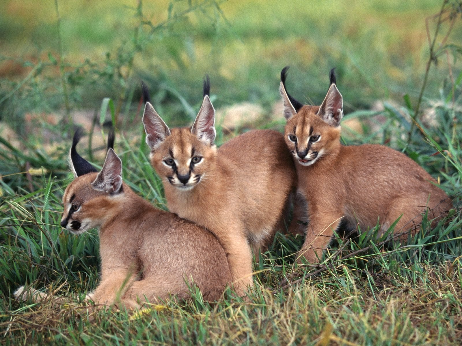 Caracal full hd wallpapers