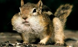 Chipmunk full hd wallpapers