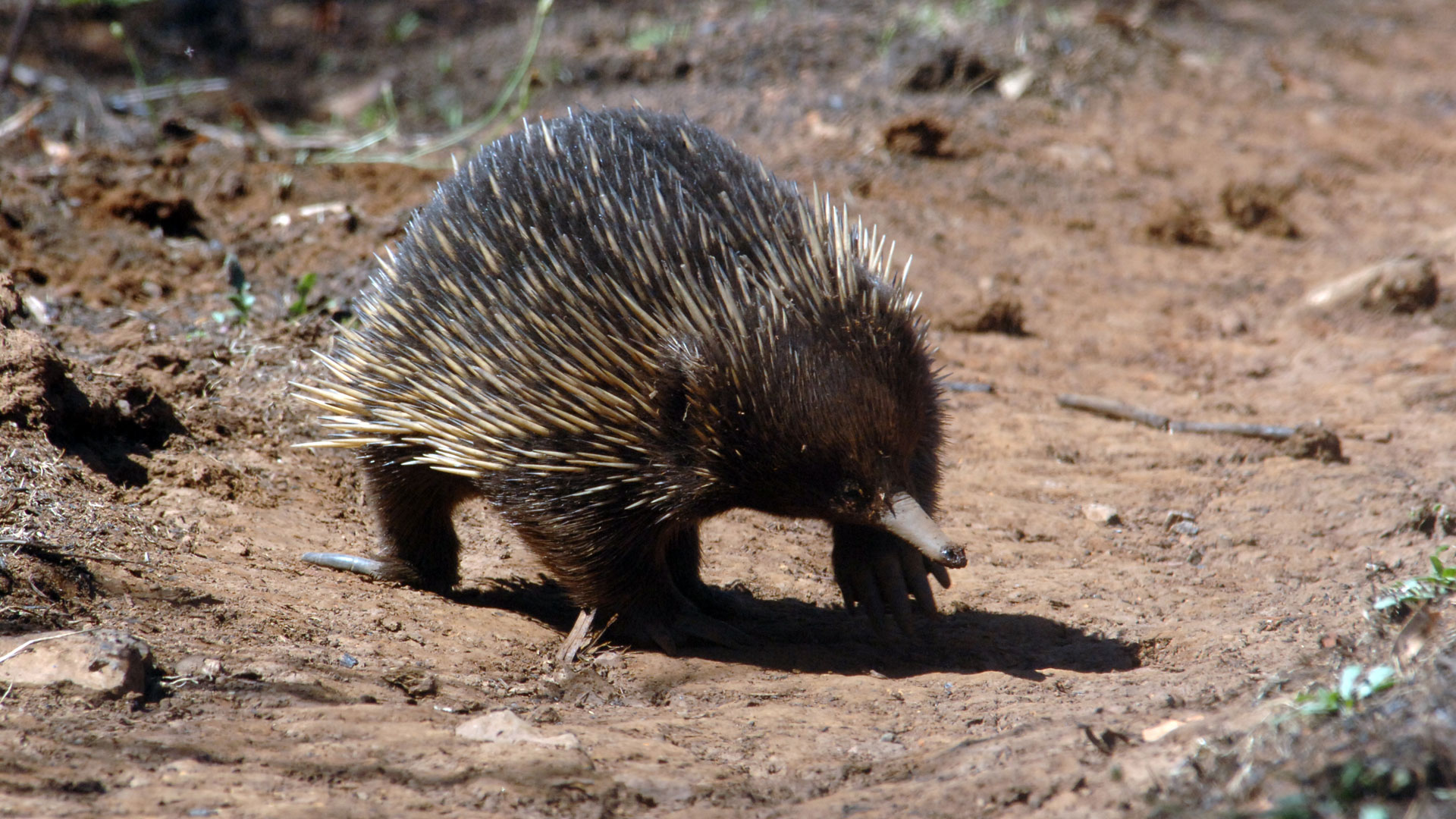 Echidna full hd wallpapers