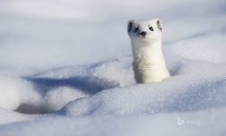 Ermine full hd wallpapers