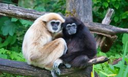 Gibbon full hd wallpapers