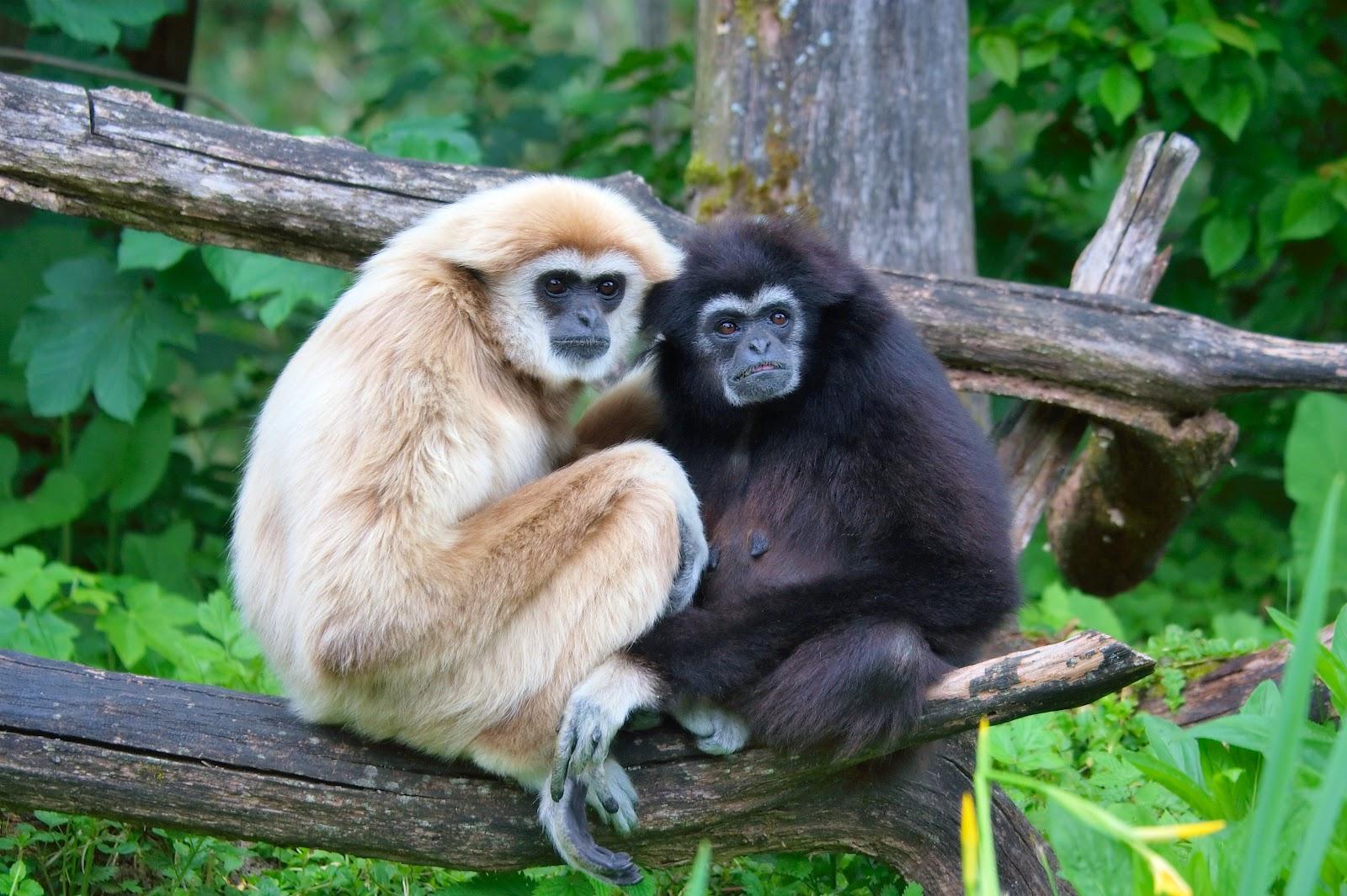 Gibbon full hd wallpapers