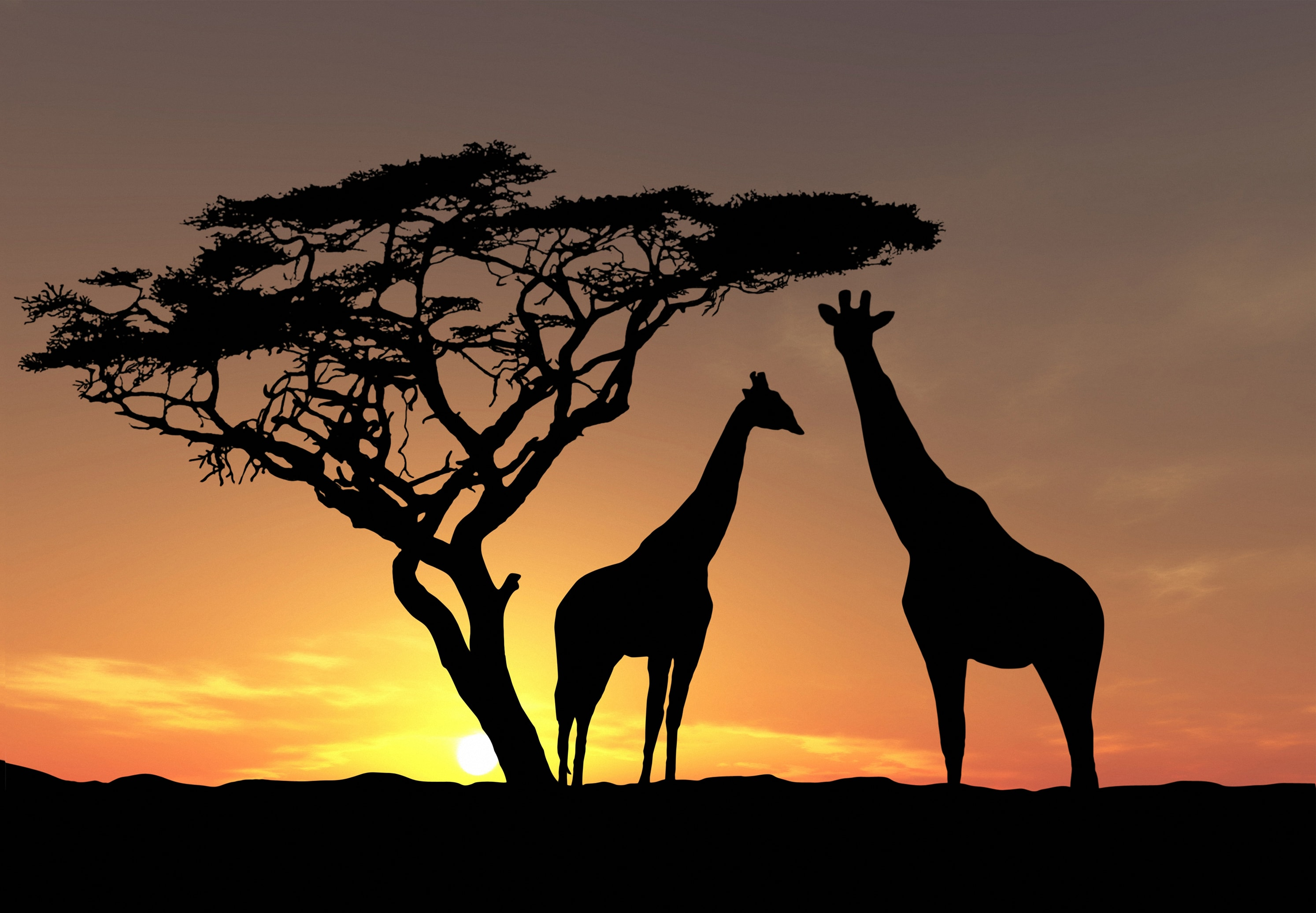 Giraffe full hd wallpapers
