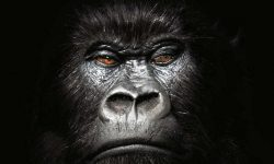 Gorilla full hd wallpapers