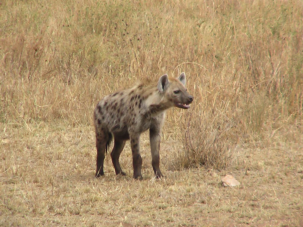 Hyena full hd wallpapers
