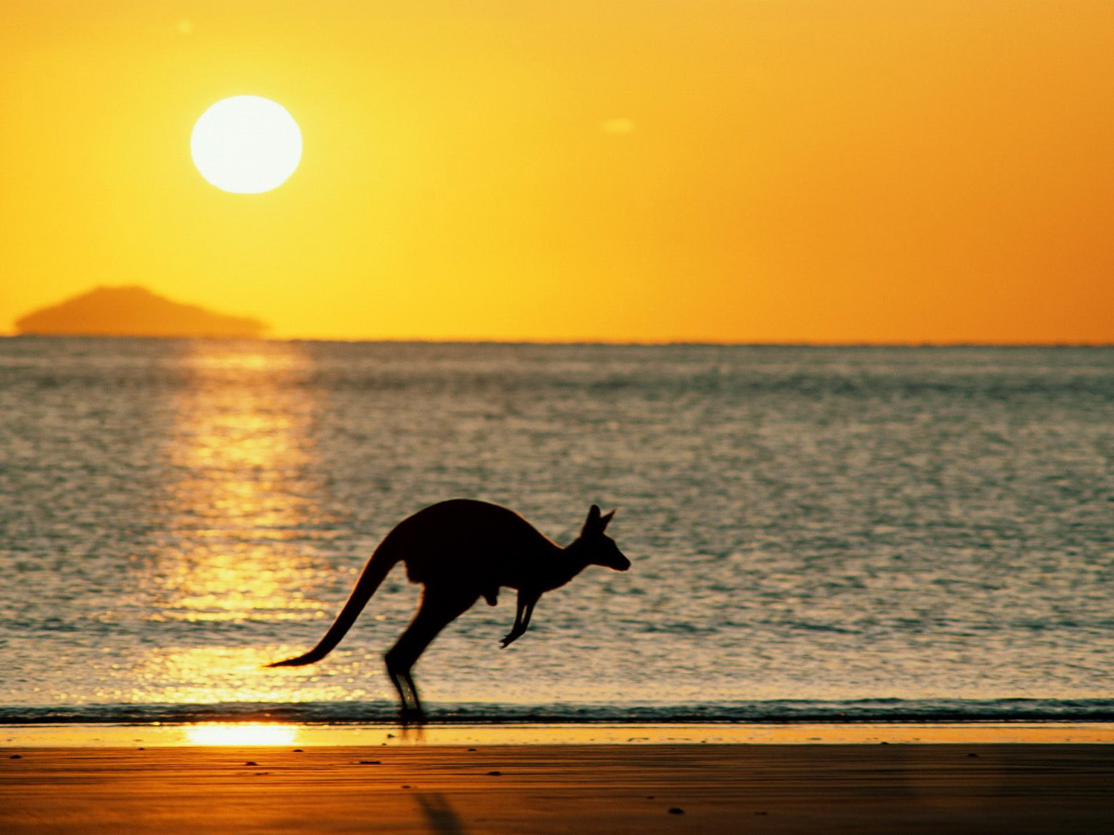 Kangaroo full hd wallpapers