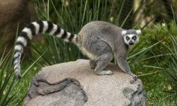 Lemur full hd wallpapers