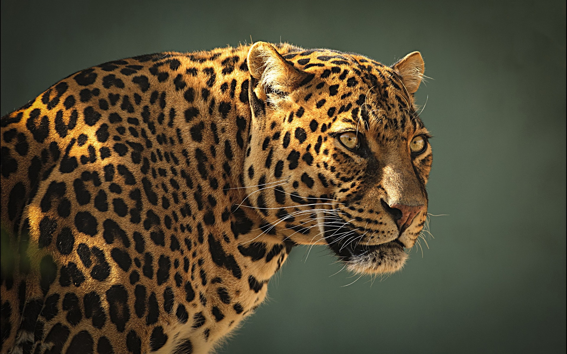 Leopard full hd wallpapers