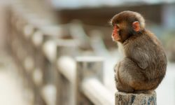 Macaque full hd wallpapers