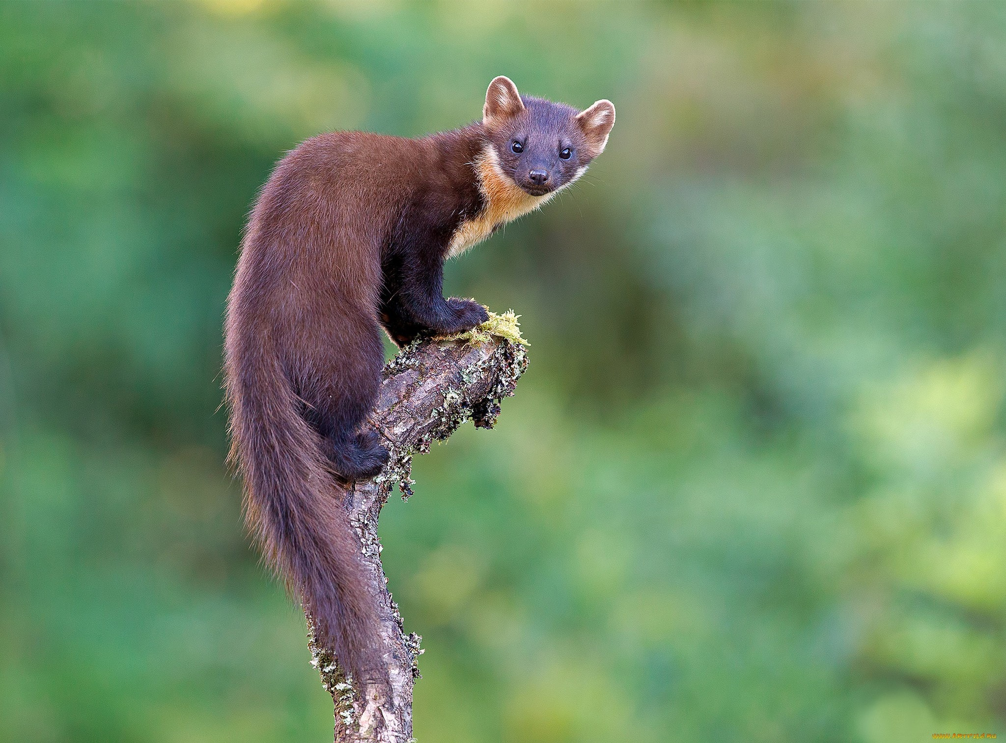 Marten full hd wallpapers