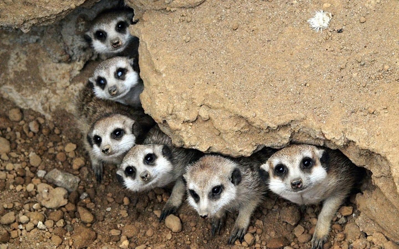 Mongoose full hd wallpapers