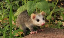 Opossum full hd wallpapers