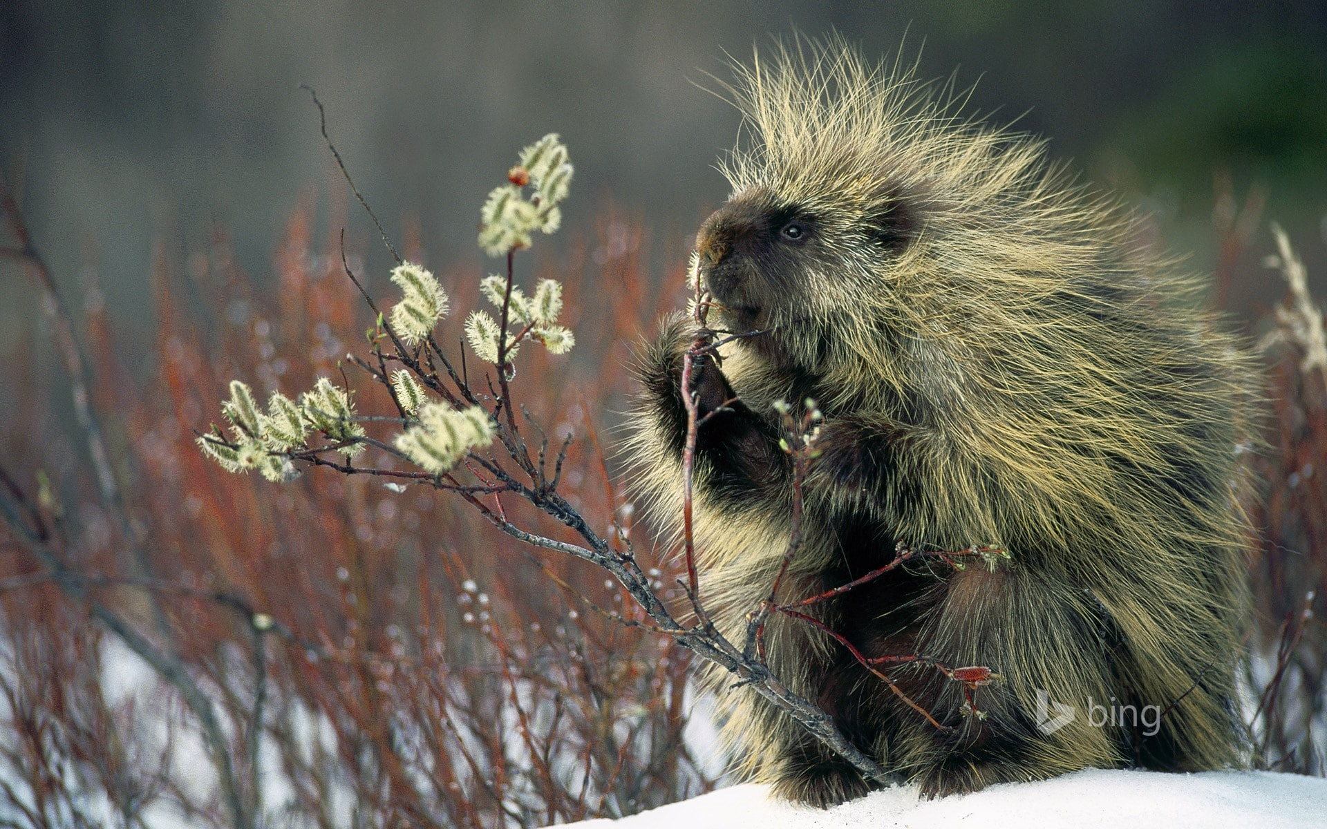 Porcupine HD pictures
