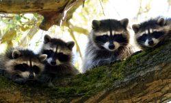Raccoon full hd wallpapers