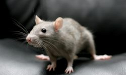 Rat full hd wallpapers