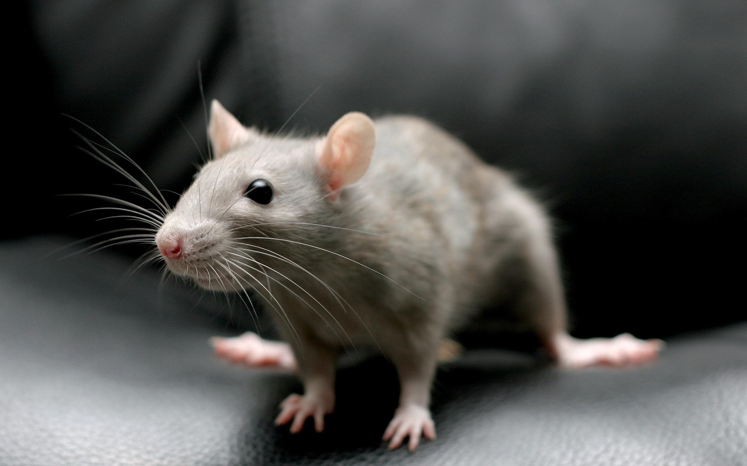 Rat full hd wallpapers