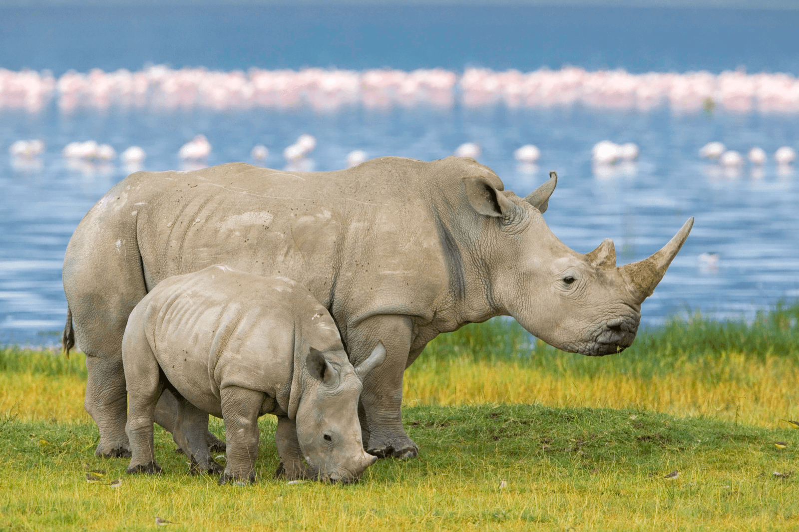 Rhinoceros full hd wallpapers