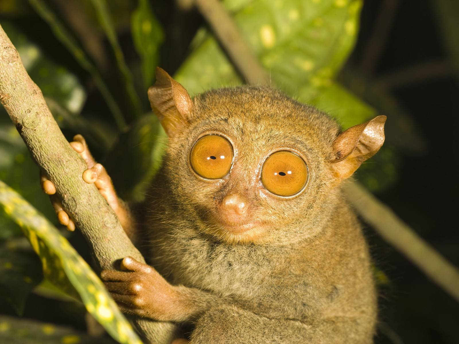 Tarsier full hd wallpapers