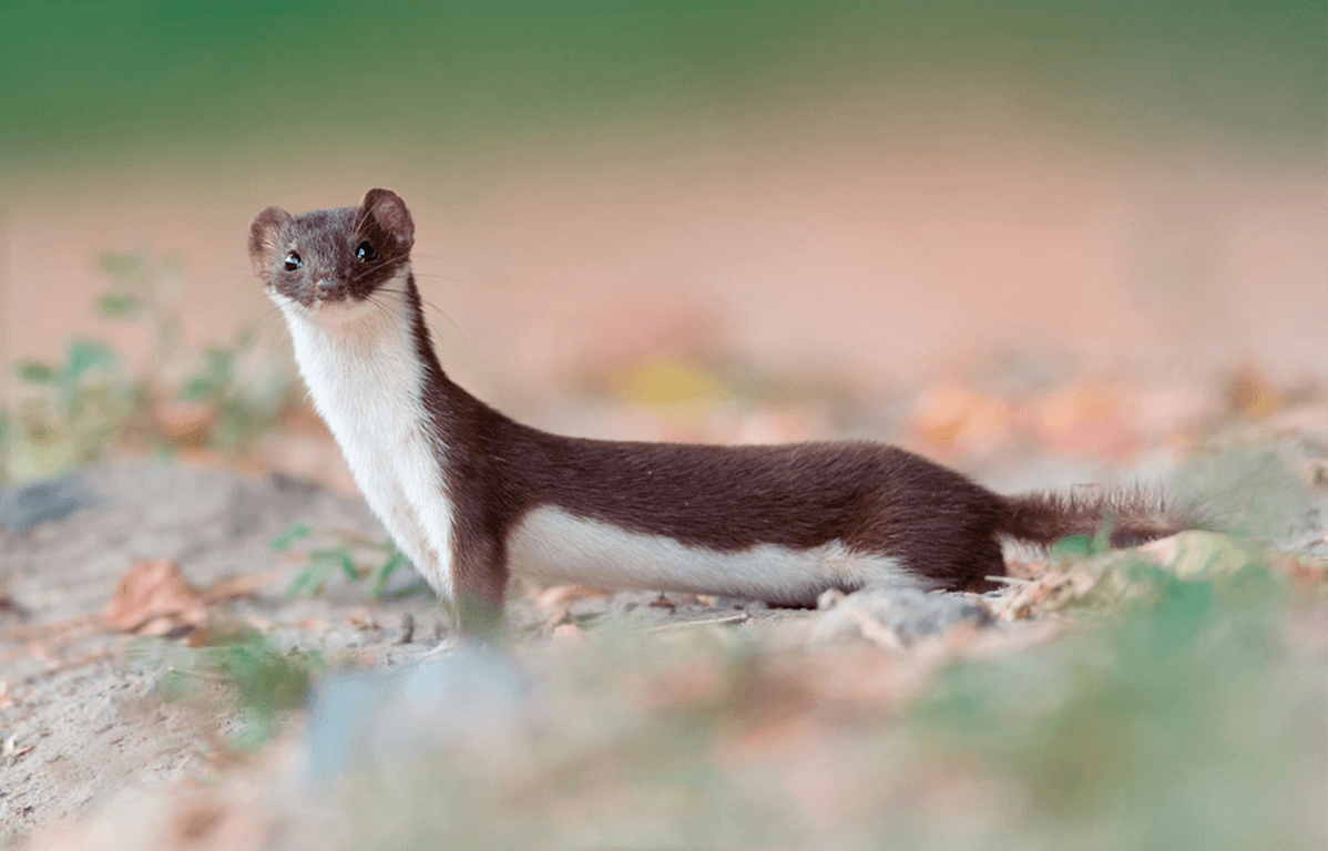 Weasel full hd wallpapers