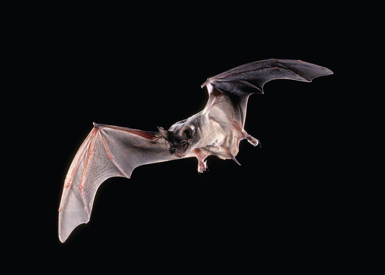Bat widescreen wallpapers