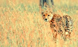 Cheetah widescreen wallpapers
