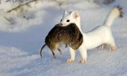 Ermine widescreen wallpapers