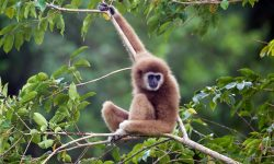 Gibbon widescreen wallpapers