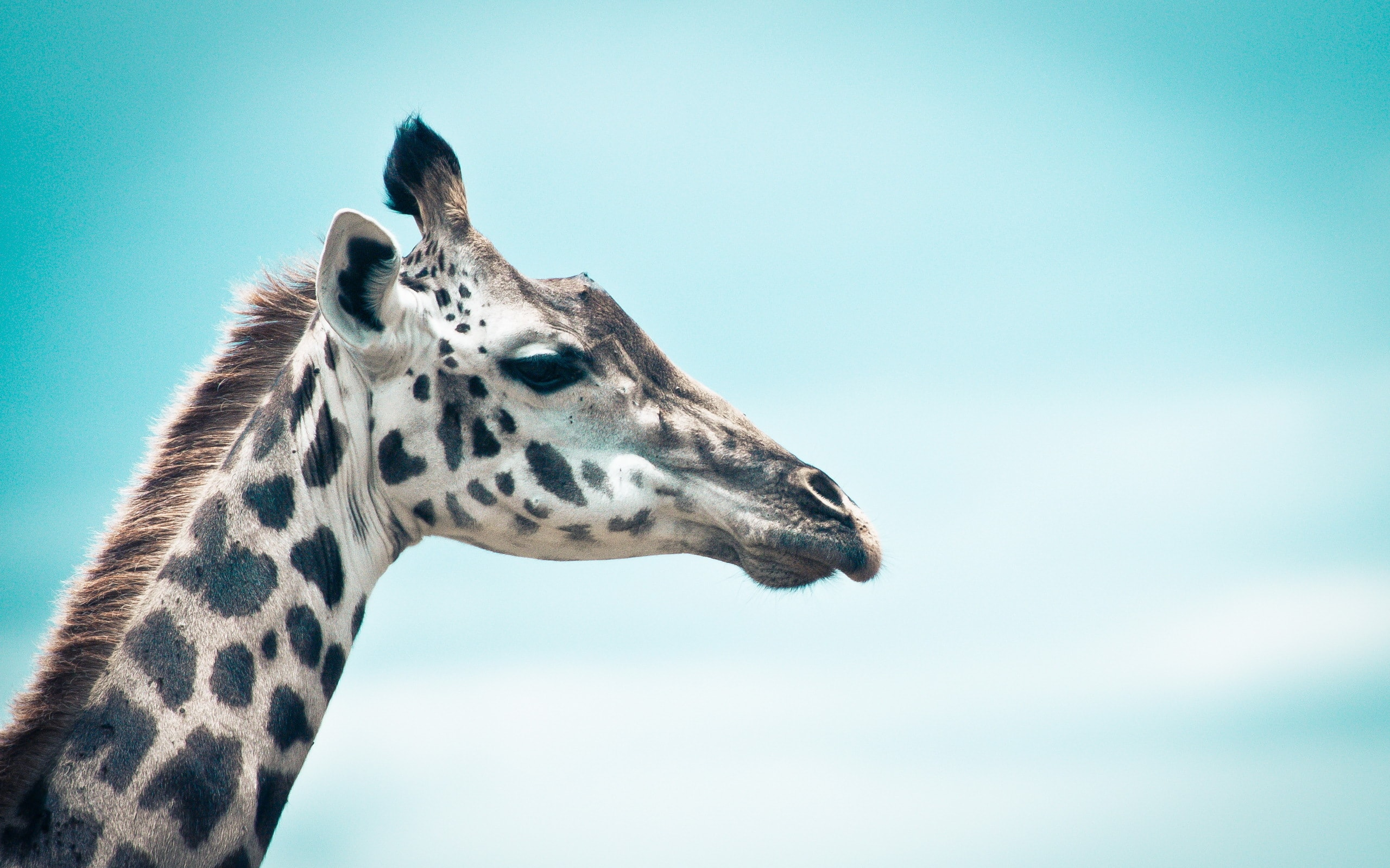 Giraffe widescreen wallpapers