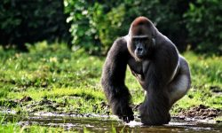 Gorilla widescreen wallpapers