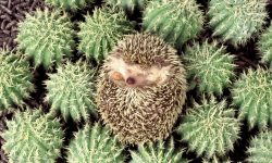 Hedgehog widescreen wallpapers