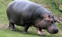 Hippopotamus widescreen wallpapers