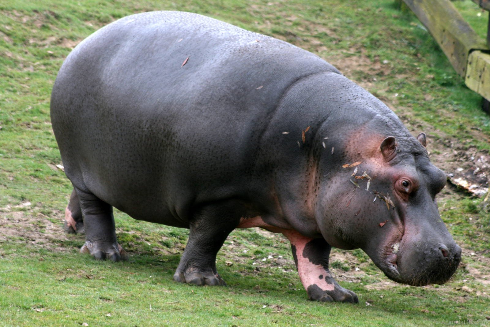 Hippopotamus widescreen wallpapers