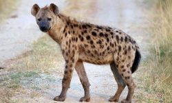 Hyena widescreen wallpapers