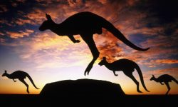 Kangaroo widescreen wallpapers