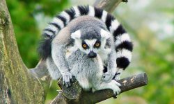 Lemur widescreen wallpapers