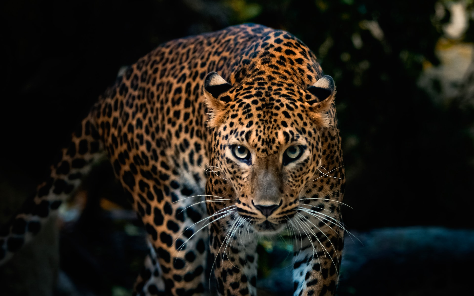 Leopard widescreen wallpapers