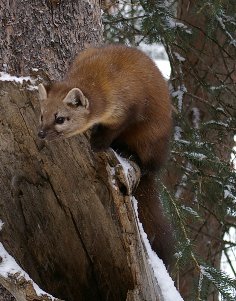 Marten widescreen wallpapers