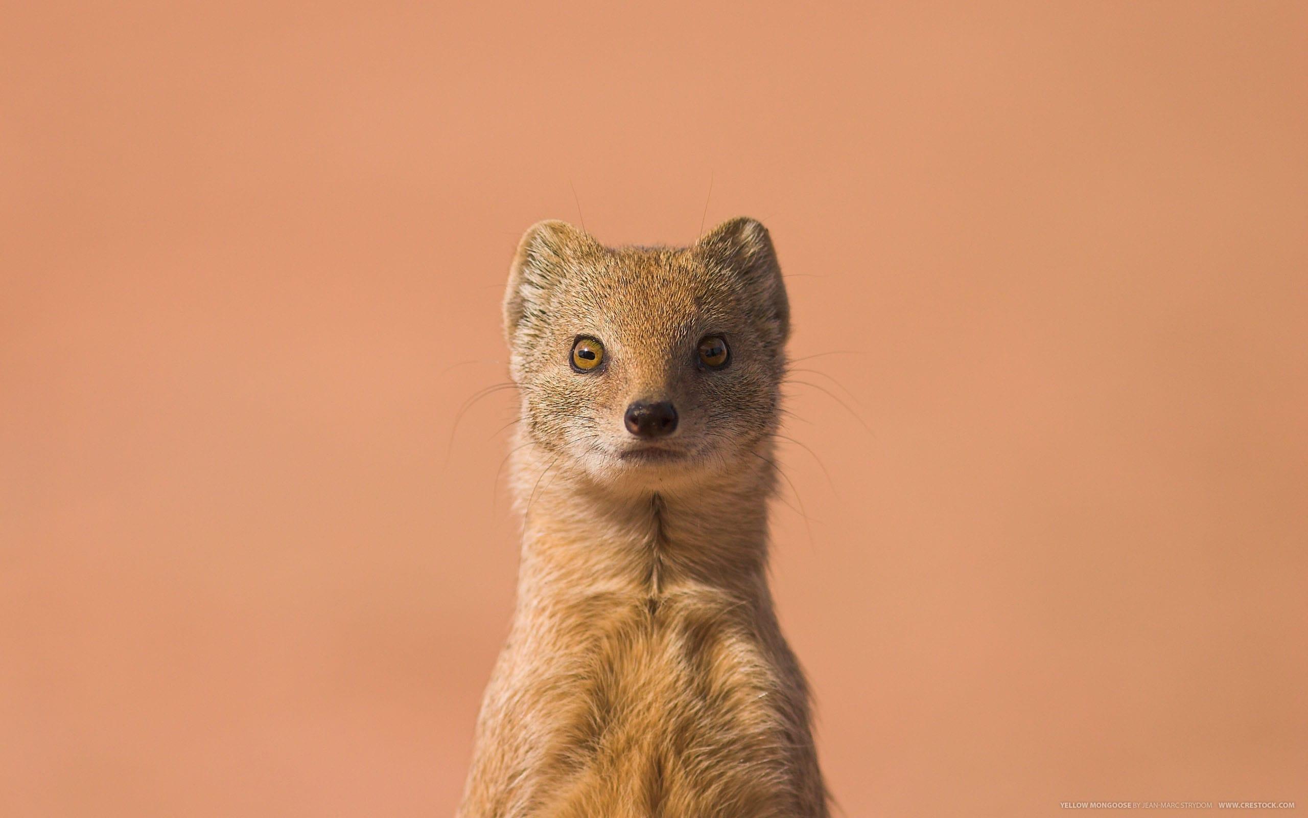 Mongoose widescreen wallpapers