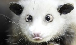Opossum widescreen wallpapers