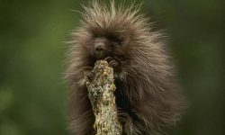 Porcupine full hd wallpapers