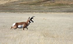Pronghorn widescreen wallpapers