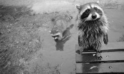 Raccoon widescreen wallpapers
