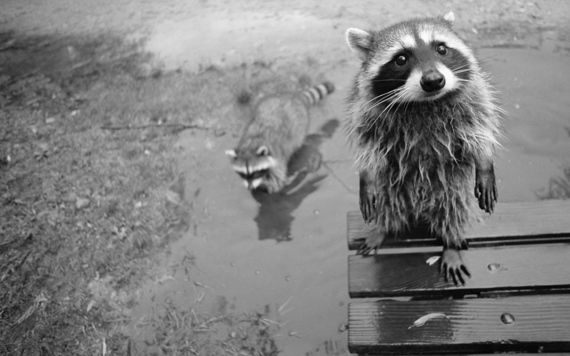 Raccoon widescreen wallpapers